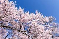 桜の季節ですね!コロナとか色々あるけど、ティアラは今日もオープンしてます!!の写真