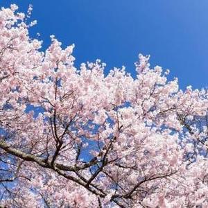 桜の季節ですね!コロナとか色々あるけど、ティアラは今日もオープンしてます!!の写真1枚目