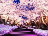 満開の桜🌸の写真