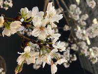 夜桜〜🌸の写真
