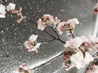 昨日は風が強かったので桜の花びらいっぱい家に連れて帰ってました!(笑)の写真