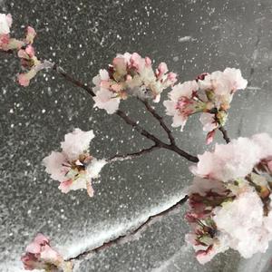 昨日は風が強かったので桜の花びらいっぱい家に連れて帰ってました!(笑)の写真1枚目