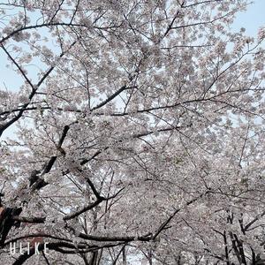 桜🌸の写真1枚目