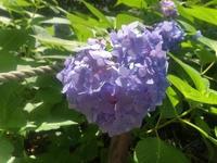 近所の紫陽花です💠の写真