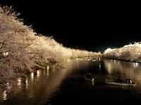 こんばんわ🐯💜 地元の桜です🌸の写真