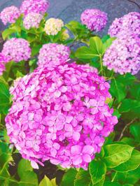 紫陽花の時期ですね(*'▽'*)の写真