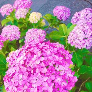 紫陽花の時期ですね(*'▽'*)の写真1枚目