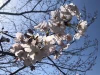桜がたくさん咲いてますね~🌸の写真