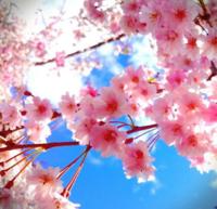 桜の綺麗な画像みつけたよ〜😉🌸の写真