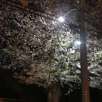 桜🌸🍃の写真